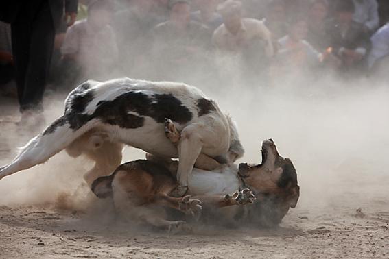 新疆斗狗场面  新疆斗狗场面   斗狗游戏在我国起源于宋代。宋时的皇宫里,这些生性好斗的动物们正好迎合那些战事刚停的文官武将的心态,于是在皇宫开始了他们自己的娱乐斗鸡、斗狗。那时候这还都是皇亲国戚们喜欢的嗜好,每当斗狗、斗鸡的时候,他们总是乐此不疲地参与其中,博彩的下注就曾达百两黄金。   为此,朝廷设立了专门负责养狗的官员,而这些官员往往都是七品的官衔。这大概就是中国狗官一词的来历吧。而今在世界上也有许多国家开展有斗狗娱乐以及比赛活动。当然人们煲贬不一。反对之声和赛场上的呐喊之声此起彼伏。   俄
