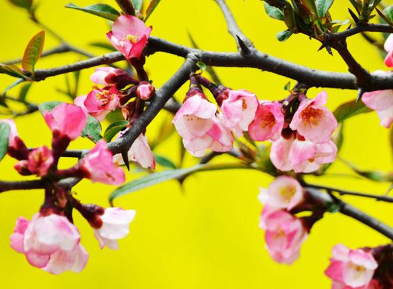 野生木瓜树图片