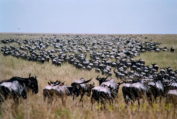 东非野生动物大迁徙奇观场景