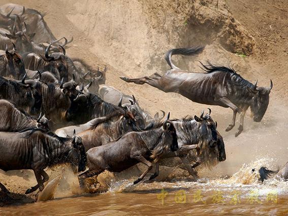 """""""天国之渡""""东非野生动物大迁徙"""