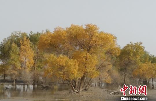 金秋十月,新疆塔里木河两岸的胡杨林已是一片金黄,令人心醉.-塔