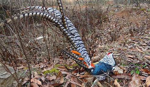 文山州国家二级野生陆生保护动物白腹锦鸡