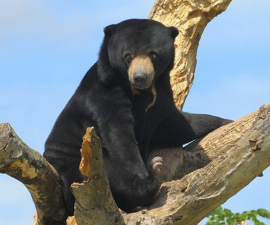 国家一级重点保护野生动物:马来熊