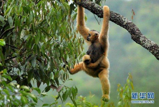 国家一级重点保护动物黑冠长臂猿生活在