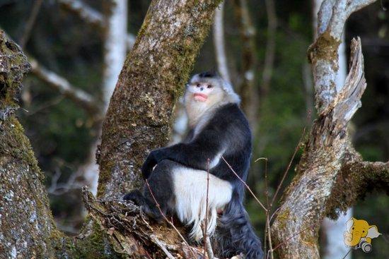 国家一类保护动物滇金丝猴