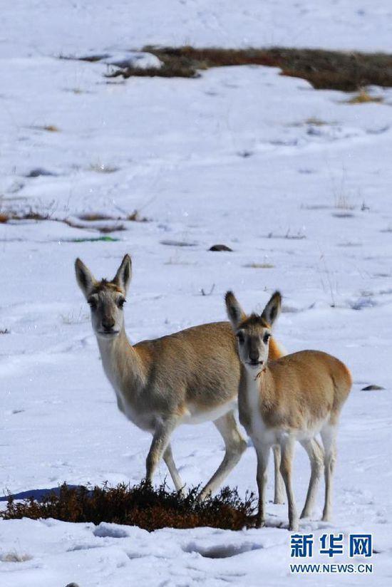 """西藏加强保护区建设 野生动物数量激增开始""""欺负人"""""""