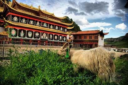 放生羊——西藏的一道独特风景