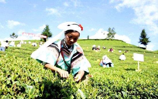 """近日,2017年""""普安红杯""""采茶大赛在贵州省黔西南布依族苗族自治州图片"""